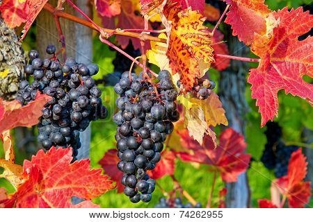Blue grapes on a vine stock