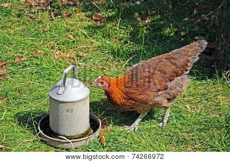 Light Sussex Bantam chicken.