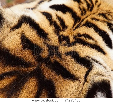 Tiger Head Fur Pattern