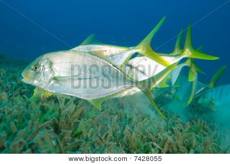 Golden Trevally Swimming Over Sea Grass