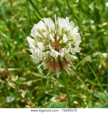 White Clover Flower