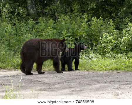 Black Bears Heading Home