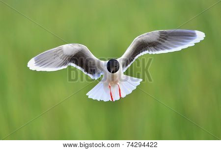 The Front Of Black-headed Gull (larus Ridibundus) Flying