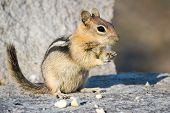 foto of chipmunks  - close up of a chipmunk eating peanuts on a rocky surface - JPG