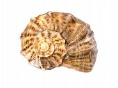 foto of echinoderms  - Marine Sea Shell Isolated On White Background - JPG