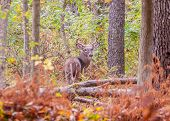 pic of buck  - Whitetail Deer Buck standing in a woods - JPG