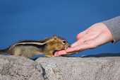 foto of chipmunks  - close up of a hand holding a nut and a trusting chipmunk feeding - JPG
