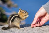 picture of trust  - close up of a hand holding a nut and a trusting chipmunk feeding - JPG