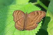 stock photo of butterfly  - Chocolate Pansy butterfly - JPG