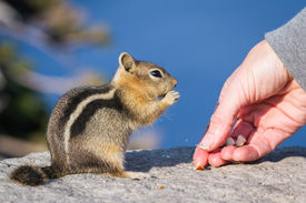image of chipmunks  - close up of a hand holding a nut and a trusting chipmunk feeding - JPG