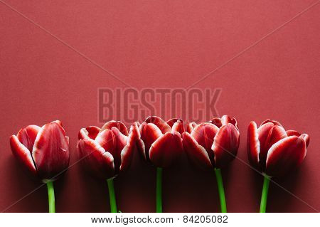 Marsala Colored Tulips