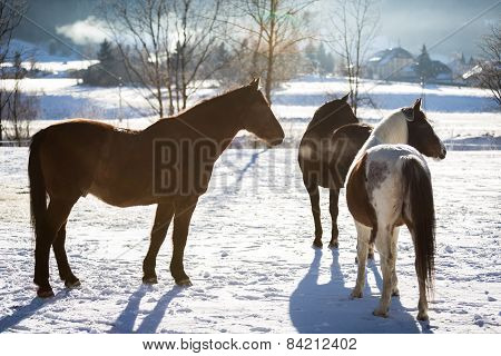 Three Horses Standing In Outdoor Paddock At Sunny Day
