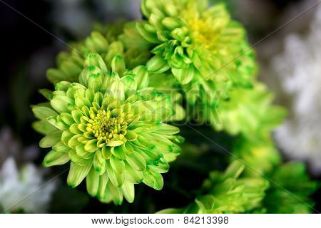 Green Chrysanthemum close up