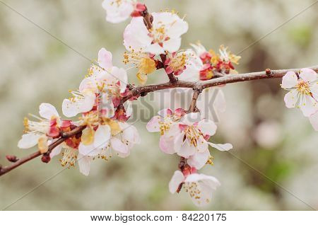 Beautiful cherry blossom. Natural image.