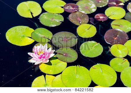 Pink And Yellow Lilly On Green Lillypad