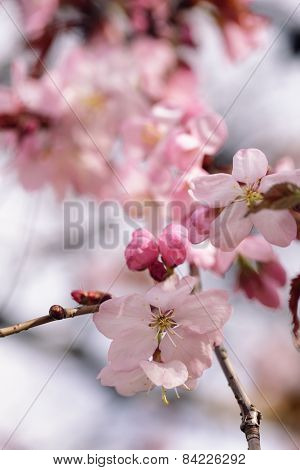 sakura cherry in bloom