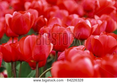 Array Of Red Tulips