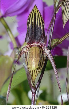 Paphiopedilum Adductum Orchid
