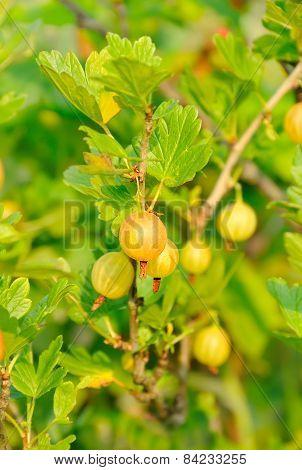 Ripe Gooseberries In  Garden