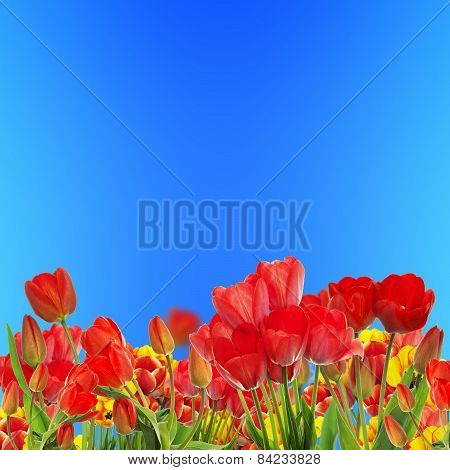 Beautiful Garden Fresh Colorful Tulips On Blue Sky Abstract  Background