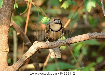 Greater Necklaced Laughingthrush (garrulax Pectoralis)