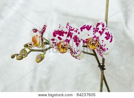 Spotted Flowers (orchid)