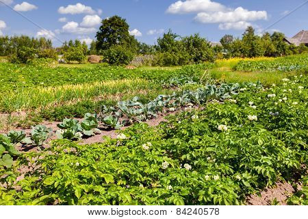 Vegetables Growing At The Garden In Summer Day