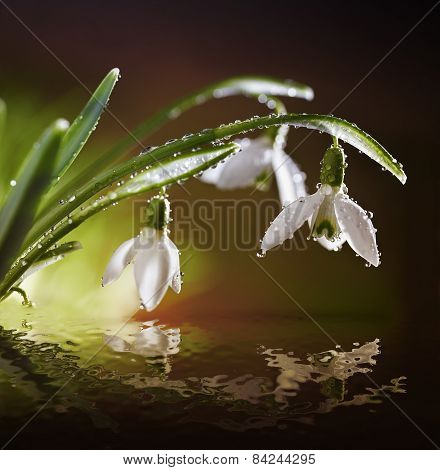 Spring Snowdrop Flowers With And Reflection In Water