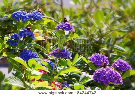 Blue Hydrangeas And Colorful Butterflies.