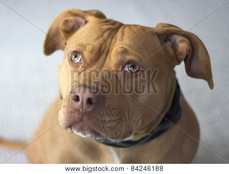 Portrait of Red Nose Pitbull Staffordshire