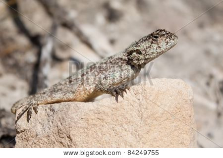 Brown Lizard Lying In The Heat Of The Sun On Rock