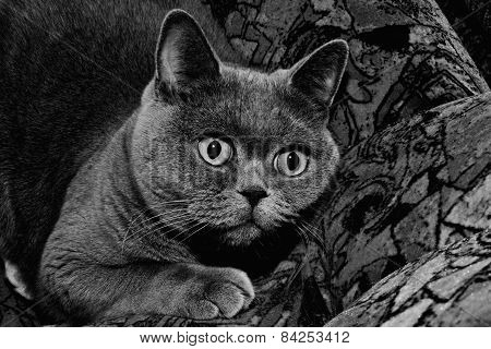 Grey British Cat