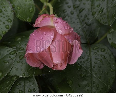 Rose flower and dew