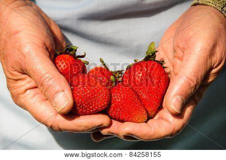 Hands Full Of Fresh Strawberries