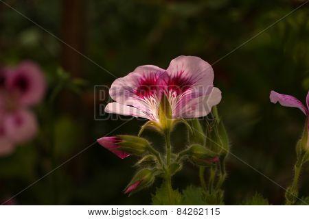 Pink flower under the sunshine.