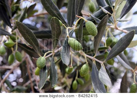 Olives On A Tree Branch