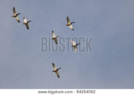 Flock Of Mallard Ducks Flying In A Blue Sky