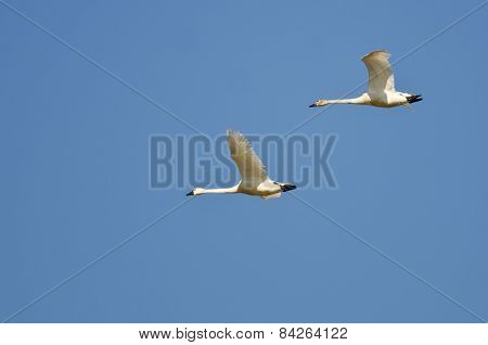 Pair Of Tundra Swans Flying In A Blue Sky