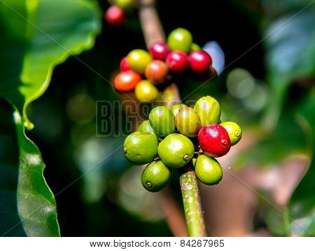 Coffee plantation in South India