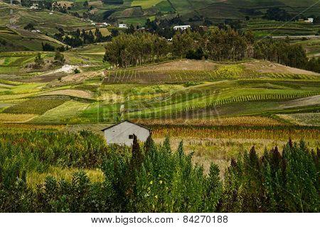 Quinoa crops plantations in Colta, Chimborazo province, Ecuador