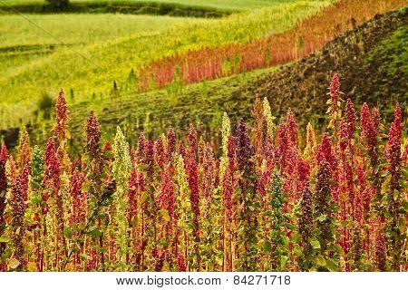 Quinoa plantations in Chimborazo, Ecuador