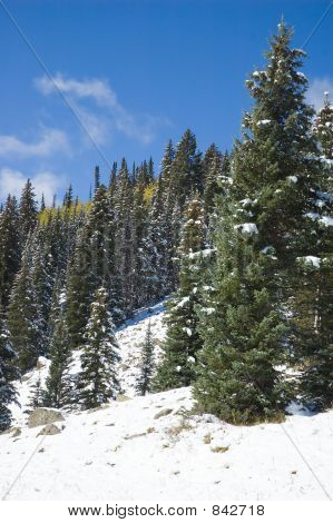 snow and spruce