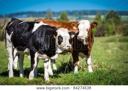 Calves On Pasture