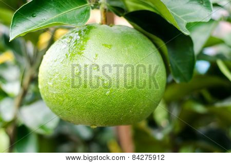Pomelo Fruit Tree In The Garden, Vietnam