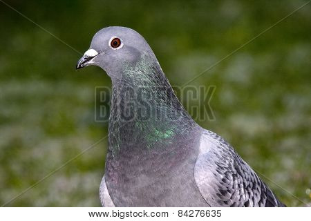 Feral town Pigeon.