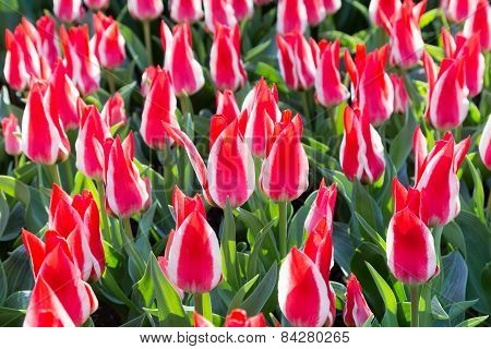 Many red white tulips