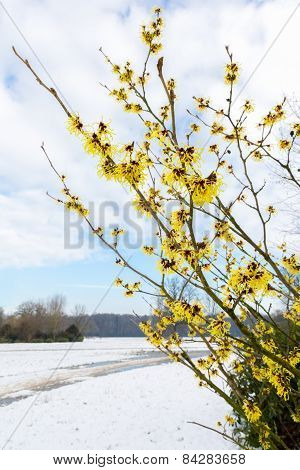 Hazel shrub yellow flowers in snow landscape