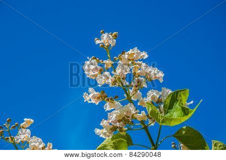 Spring Flower Catalpa