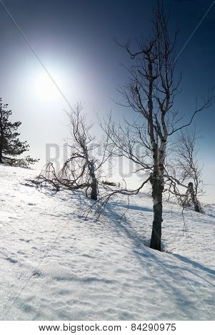 Trees Under Snow With Sunshine Star.