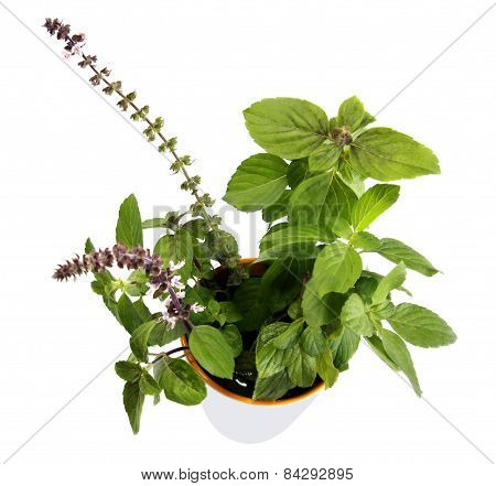 Basil Leaves And Flowers